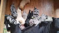 Colourful miniature merle Labradoodles for sale