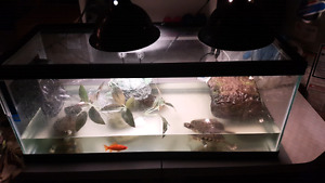 4 red eared slider turtles  with tank and accessories $200 obo