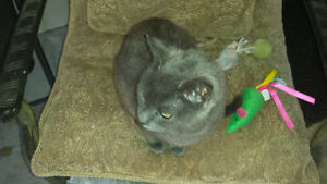 BUEATIFUL RUSSIAN BLUE SEARCHING FOR HOME