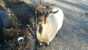 Handsome Pygmy goat available for breeding services