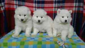 Beautiful Samoyed Puppies available