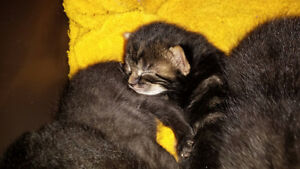 Bengal/Egyptian Mau Cross Mixed Kittens