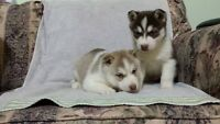 Red Husky Puppies
