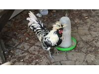2 Free Polish Roosters, Silver laced and Buff Laced Bantams
