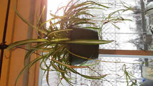 Varigated spider plant hanging basket, Star Pine, coffee tree