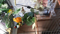 Singing canary, 2 male gouldians, 2 society finch with cage