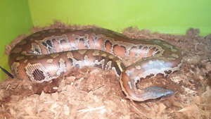 Adult male blood python