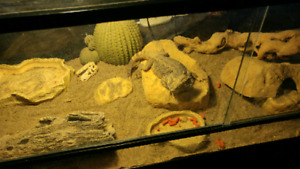 Bearded Dragon, Tank and Stand