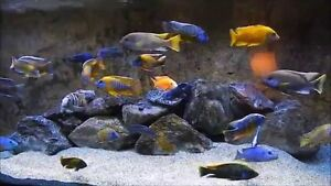 FREE 54 gal African Cichlid Tank With Over 40 Fish