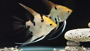 A pair of breeding gold marble angelfish