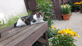 Missing Cat Penicuik (REWARD offered)