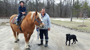 Belgian Mare and Belgian thoroughbred cross  horses for sale