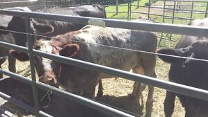 Grass fed Beef from Purebred Shorthorn steers
