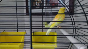 Yellow Canary for sale