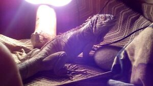 3 foot iguana female comes with cage and lights