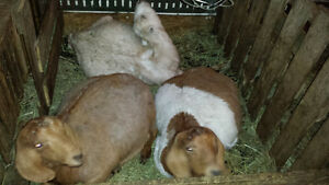 HERD REDUCTION BOERS & DAIRY GOATS