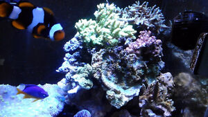REEF TANK SHOUT DOWN CORAL FOR SALE