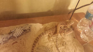 Looking to rehome 2 bearded dragons females with set up