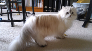 Dollface Chinchilla Persian... intact young adult female!!