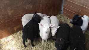 4 lambs for sale