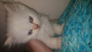 Female flame point Himalayan kitten