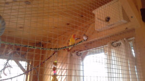 Lovebirds male and female