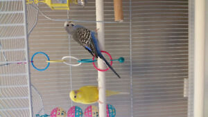 2 budgies for sale with a cage