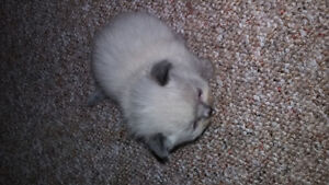 For Sale Himalayan kittens