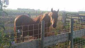 QH/Arabian mare for sale *PRICE REDUCED!!* Great deal!! Strathcona County Edmonton Area image 7