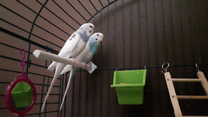 Parakeet birds and cage