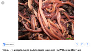 Always hungry composting red wigglers