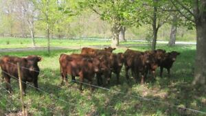 Dexter/Red Devon Cross Bulls and Heifers