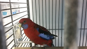 Crimson Rosella Female! !