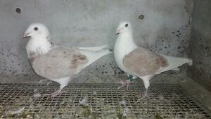 Racing homing pigeons