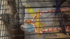 three budgies for $50