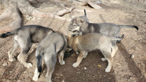 Alaskan Husky Puppies