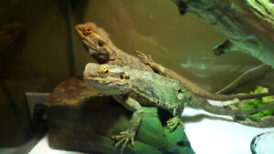 Bearded dragons for sale.  $30. Tank and light included.