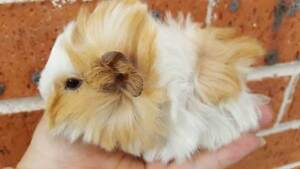 Very Cute Baby Guinea pigs for sale ! Gordon Ku-ring-gai Area Preview