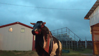Mechanical Bull for rent plus other fun party rentals!