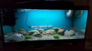 40 gallon with kenyi cichlids