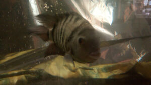 8 baby cichlids fish free to good home