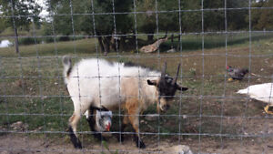 2 male pygmy goats for sale