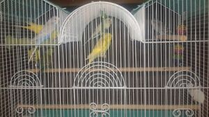 Budgies for sale $15 each