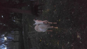 FS 1 year old white La Mancha neutered male goat