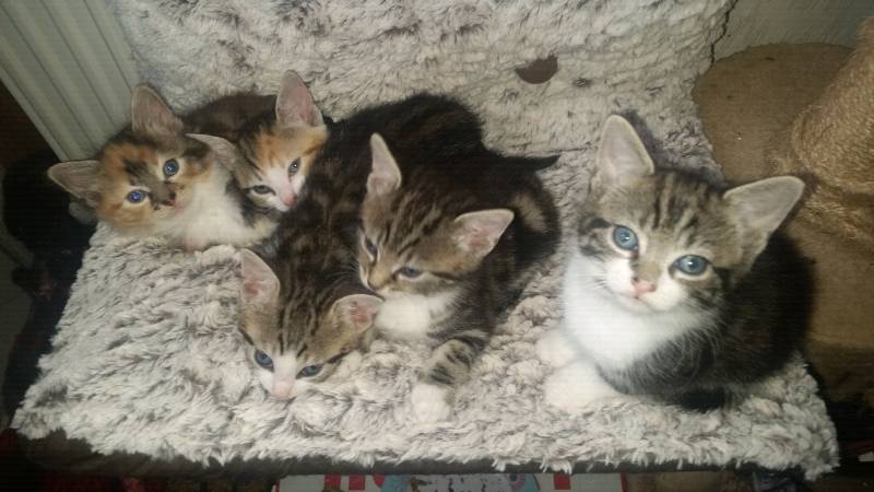 Kittens Female Mixed Tabbie Colours 180 Each In Washington Tyne And Wear Gumtree