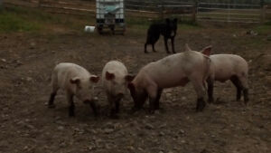 Weaners pigs