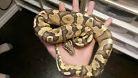 (sunglow)..red tail boa/ ball pythons and veiled chameleons
