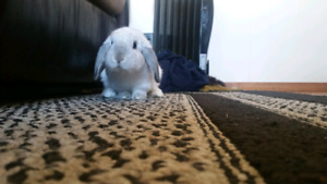 Male Lop for Rehoming
