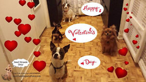*FULL FOR HOLIDAYS* HAPPY LITTLE DOGS HOME DAYCARE SINCE 2010 West Island Greater Montréal image 5