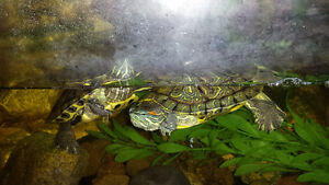 Westbank - 2 Turtles with 33 gallon tank